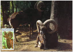 Nature Conversation - Mouflon (Ovis musimon)