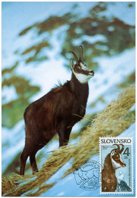 Nature Conservation - The Tatra chamois (Rupicapra rupicapra tatrica)