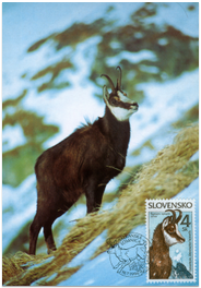 Nature Conservation - The Tatra chamois (Rupicapra rupicapra tatrica)