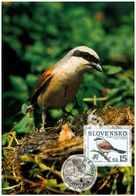 Ochrana prírody - Spevavé vtáctvo - Strakoš červenochrbtý