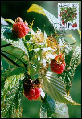 Ochrana prírody - Lesné plody - Ostružina malinová