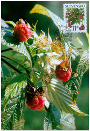Nature conservation - Forest fruits - Wild raspberry