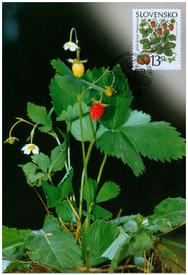 Ochrana prírody - Lesné plody - Jahoda obyčajná