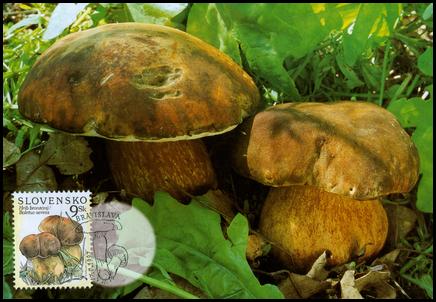 Ochrana prírody - Hríb bronzový (Boletus aereus)