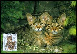 Európska mačka divá