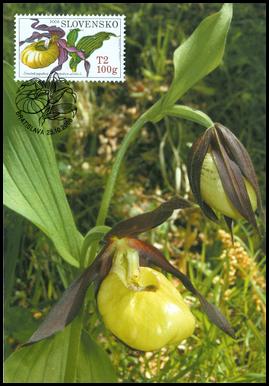 Ochrana prírody - Orchidey, Črievičník papučkový