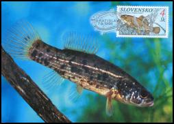 Ochrana prírody - Ryby - Blatniak tmavý